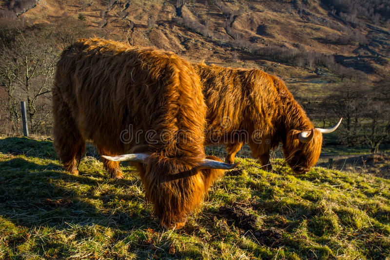 Highland cattle. Grazing in the mountains royalty free stock photos
