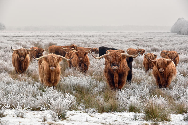 Highland cattle stock image. Image of hoarfrost, hairy ...