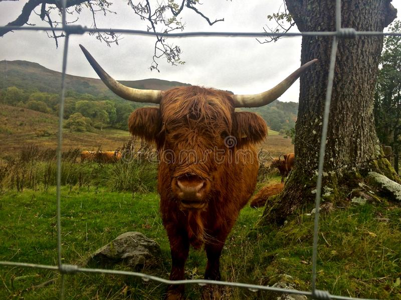 Highland Cattle. / Cow Standing at Attention Closeup, Scotland, UK royalty free stock photography