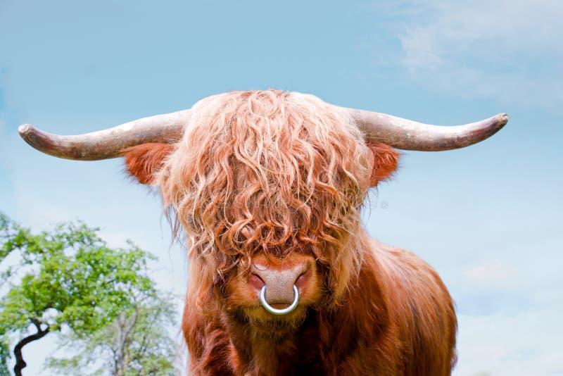 Highland cattle, highland cow, closeup. Brown highland cattle, highland cow, closeup royalty free stock photos