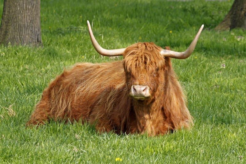 Highland Cattle, Kyloe stock photography