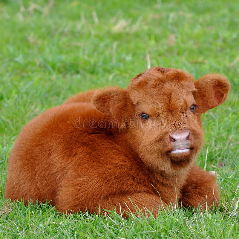 Cute calf of highland cattle. Highland cattle or kyloe are an ancient Scottish breed of beef cattle with long horns and long wavy coats which are coloured black royalty free stock images