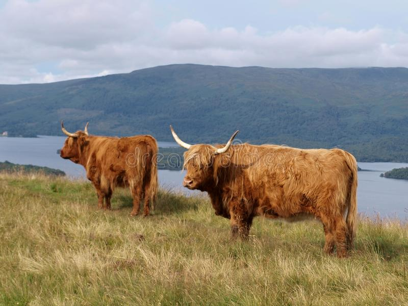 Highland cattle. And Loch Lomond in The Highlands, Scotland stock image
