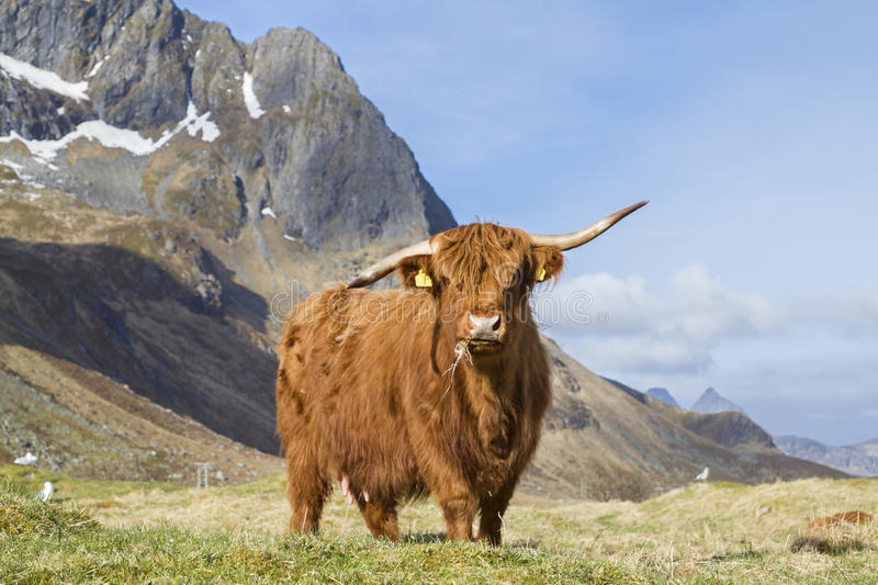Highland Cattle. On the meadow in Lofoten islands stock image