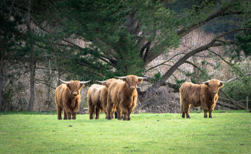 Highland Cattle. Highland Cattle in New Zealand stock photo