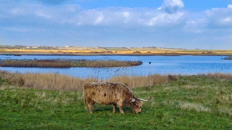 Highland Cattle on Oare Marshes stock photos