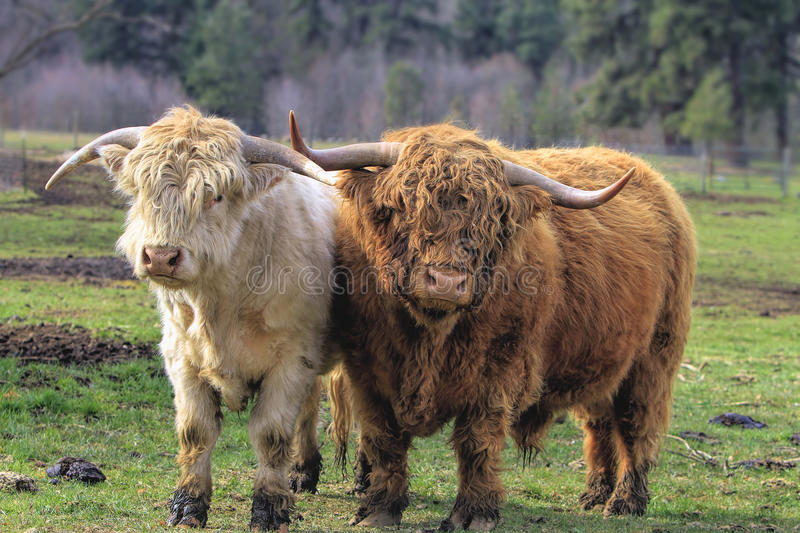 Highland Cattle Pair. Kyloe Highland Cattle Pair Bull Cow Scottish Breed royalty free stock image