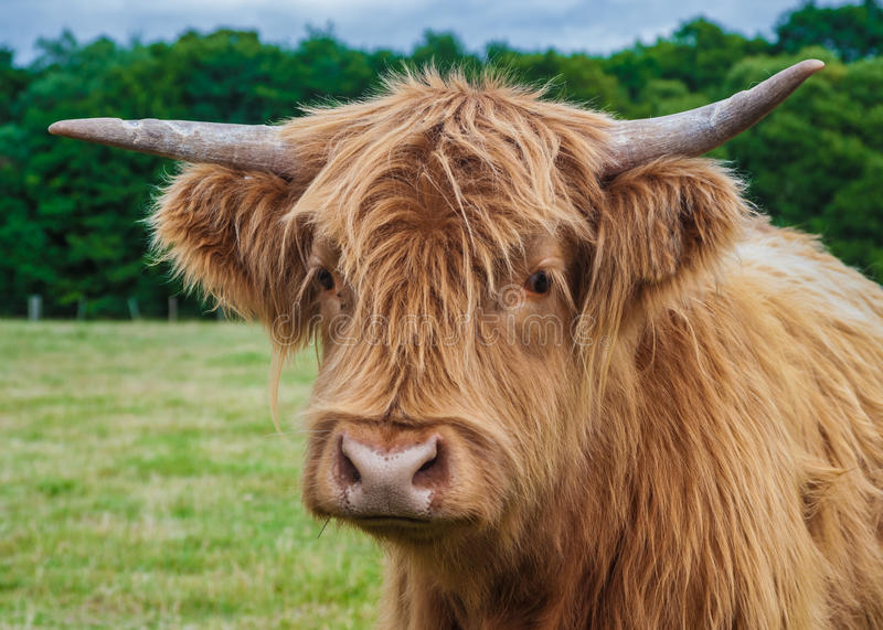 Highland Cattle. Photograph Of Highland Longhorn Cattle royalty free stock image