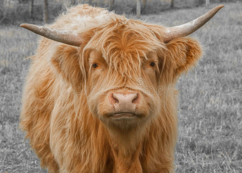 Download Highland Cattle stock image. Image of dairy, field, long - 35533595