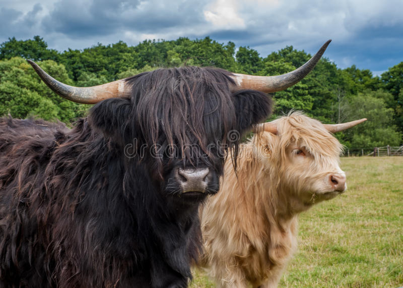 Highland Cattle. Photograph Of Highland Longhorn Cattle stock photos