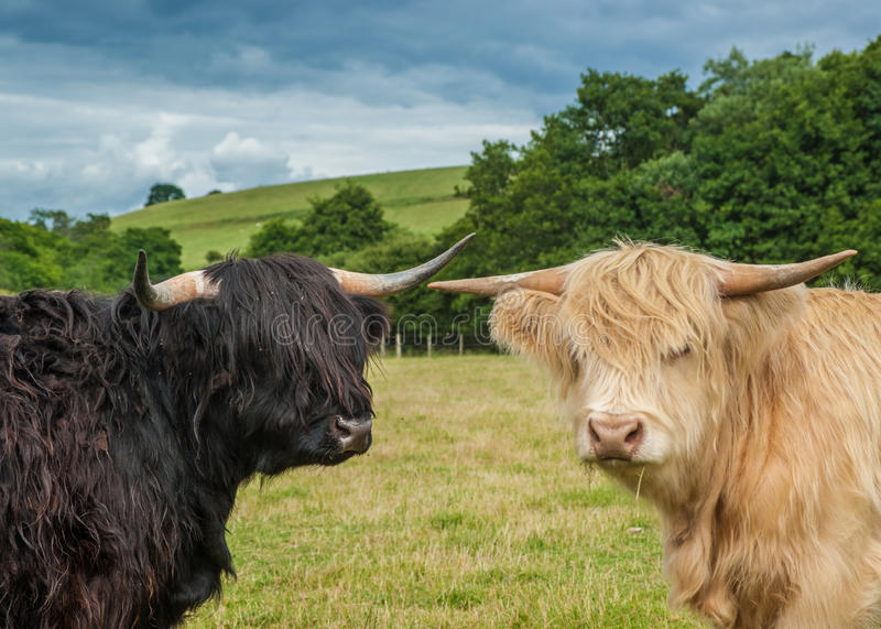 Download Highland Cattle Stock Photos - Image: 35533653