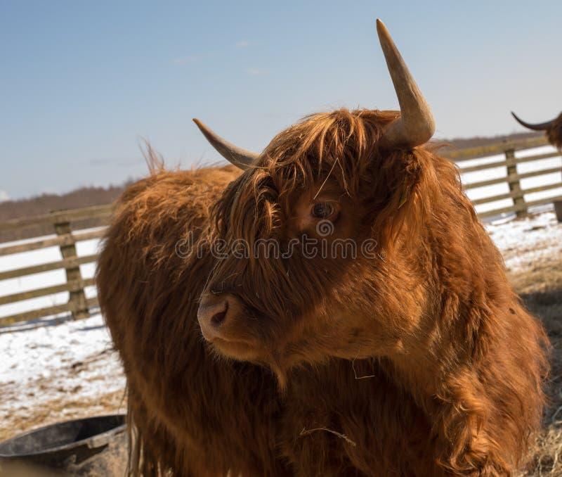 Download Highland cattle stock image. Image of scottish, hairy - 33191661