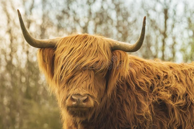 Highland cattle, Scottish cattle breed Bos taurus with big long horns. Closeup of brown red Highland cattle, Scottish cattle breed Bos taurus with long horns stock photo