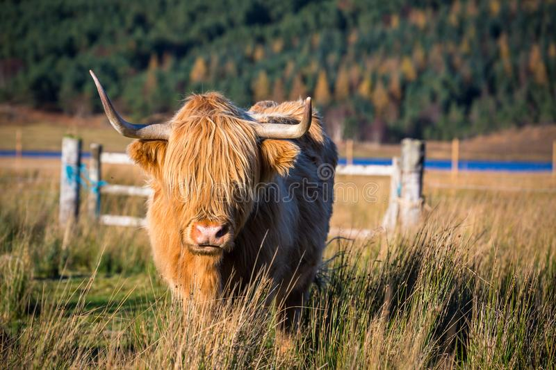 Highland cattle in Scottish countryside stock photo