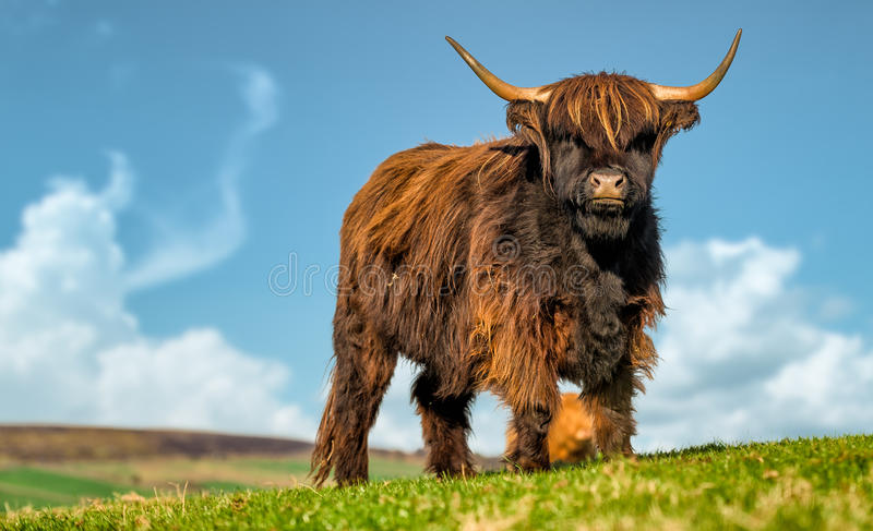 HIghland Cattle. Scottish Highland Cattle standing in a green North Yorkshire field, under a blue sky royalty free stock photos