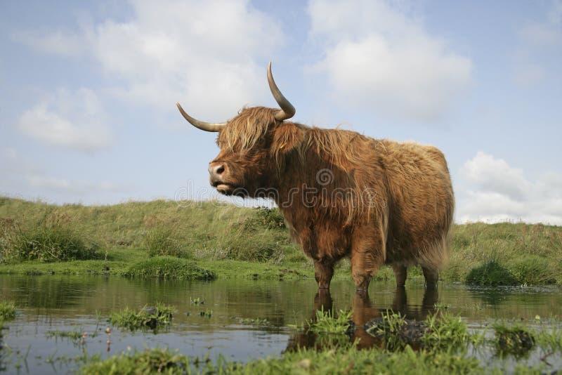 Highland cattle. Single animal on grass, Texal, Netherlands royalty free stock photos