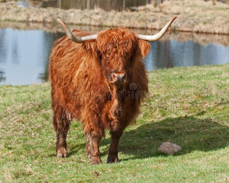 Highland cattle in Sweden. Highland cattle or kyloe in Sweden are an ancient Scottish breed of beef cattle with long horns and long wavy coats stock photo