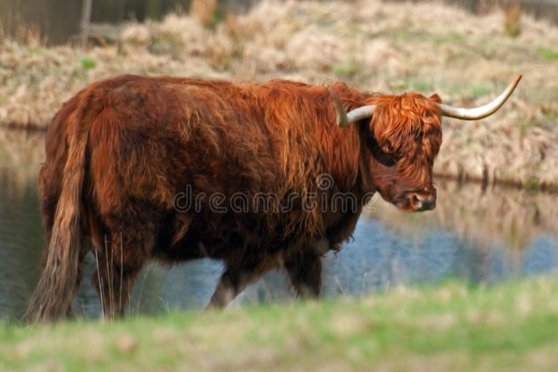 Highland cattle in Sweden. Highland cattle or kyloe in Sweden are an ancient Scottish breed of beef cattle with long horns and long wavy coats royalty free stock image