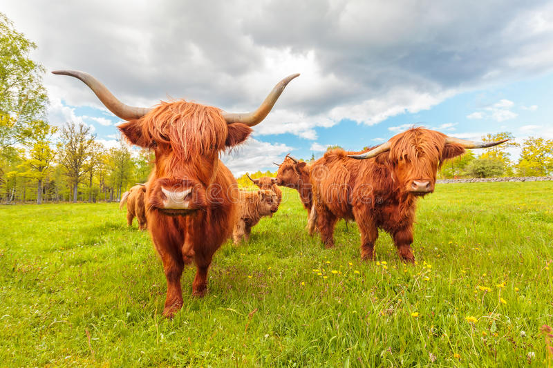 Highland cattle in the Swedish province of Smaland. In summer stock images