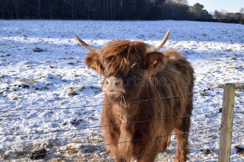 Highland Coo stock images