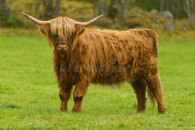 Highland cow. Highland cattle or kyloe are a Scottish breed of beef cattle with long horns and long wavy coats which are coloured black, brindled, red, yellow or stock photos