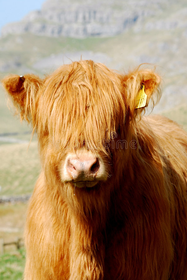 Highland Cow. Highland cattle or kyloe are an ancient Scottish breed of beef cattle with long wavy pelts which red coloured. Picture taken in Yorkshire Dales stock images