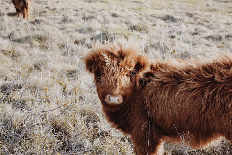 Highland cow. royalty free stock image