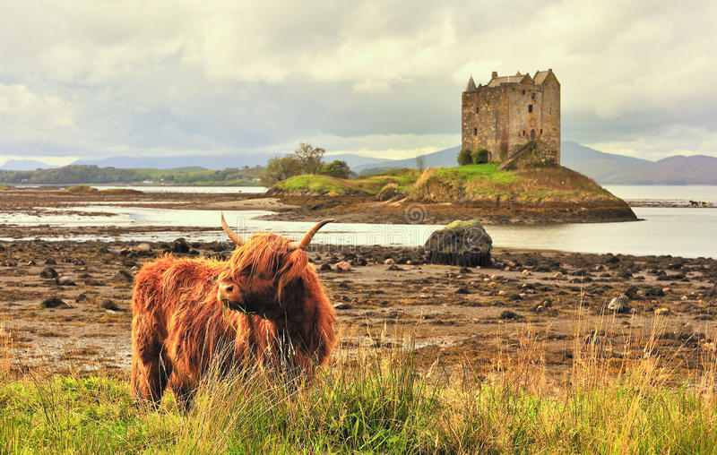 Highland cattle at Castle Stalker, Scotland. A lone highland cow or Kyloe, grazes on the shoreline grass of loch Linnhe at the Lynn of Lorn, with the romantic stock images