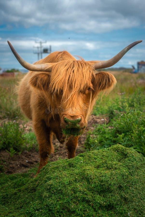Highland Cow Eating Grass, Isle of Mull, Scotland, UK stock photos