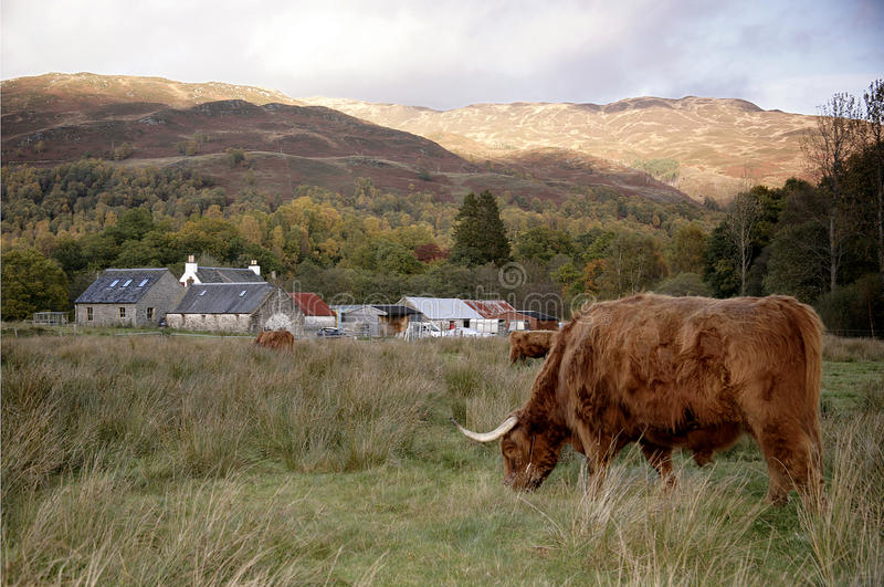 Highland cow in a Glen Coe, Scotland stock images