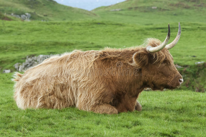 Highland Cow Lying down. Close up of a single highland cow lying down in a field on the Isle of Mull Scotland stock photo
