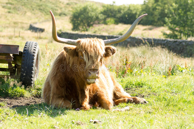 Highland Cow. This Highland Cow is not taking things seriously stock photography