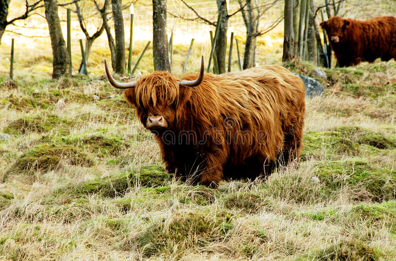 Highland cow in a paddock stock photo