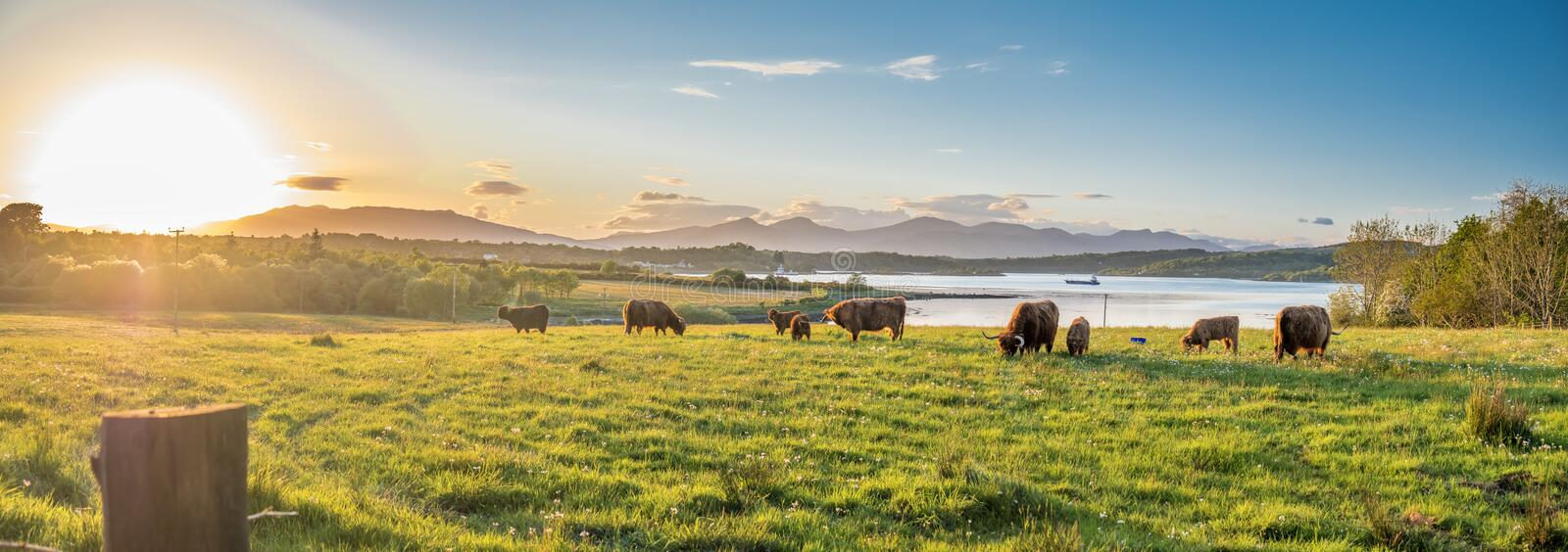 Highland cow with a scottish loch in the background. During sunset royalty free stock images