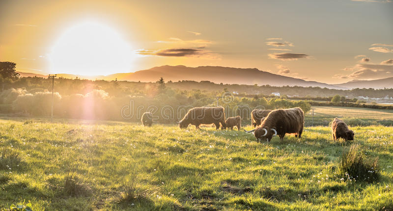 Highland cow with a scottish loch in the background. During sunset royalty free stock photo