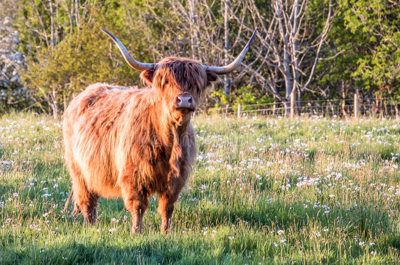 Highland cow with a scottish loch in the background. During sunset royalty free stock image