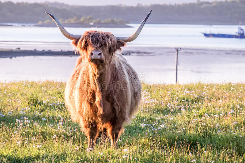 Highland cow with a scottish loch in the background. During sunset royalty free stock photos