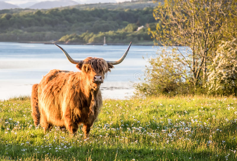 Highland cow with a scottish loch in the background. United Kingdom royalty free stock images