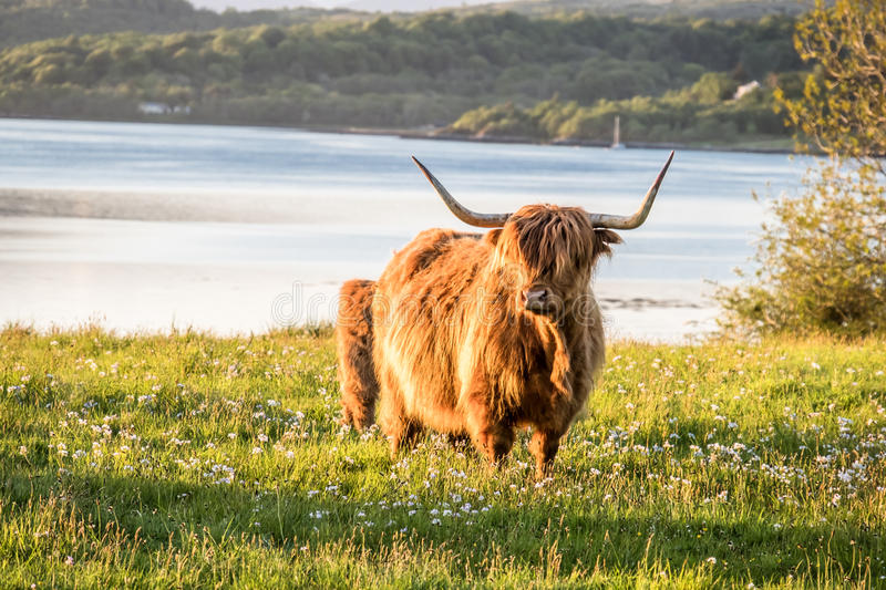 Highland cow with a scottish loch in the background. United Kingdom stock photos