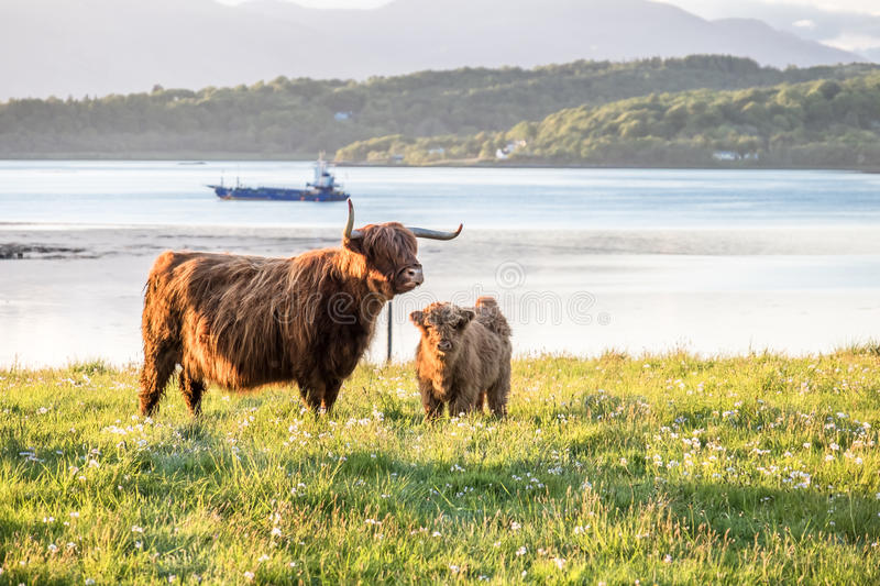 Highland cow with a scottish loch in the background. United Kingdom stock photography