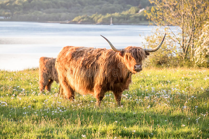 Highland cow with a scottish loch in the background. United Kingdom stock image