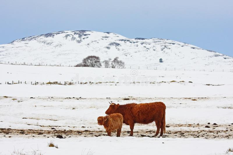 Download Highland cow in the snow stock photo. Image of aberdeen - 8430714