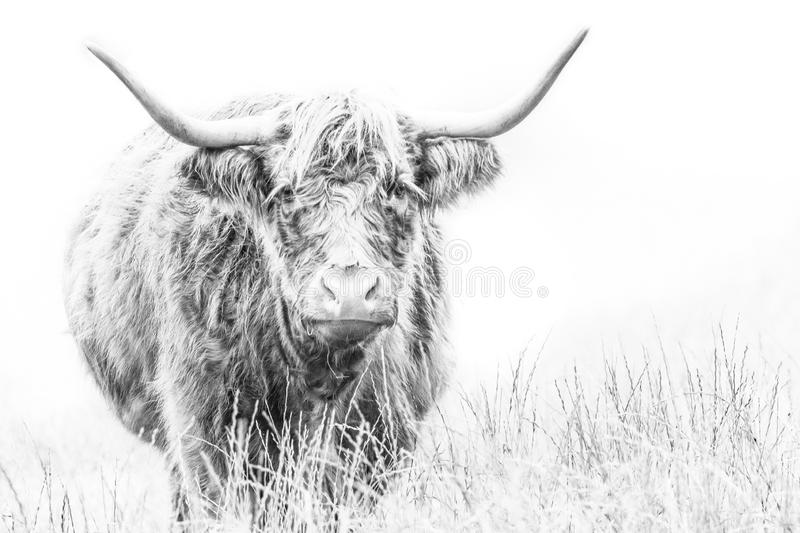 Highland Cow on white. A high key Highland Cow on white, sketch effect with copyspace stock images