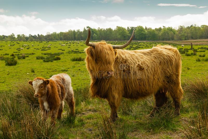 Highland cow and young calf. Long horned highland cow and young calf in a field in the Scottish highlands royalty free stock photography