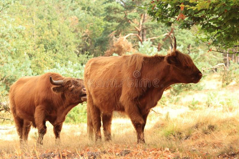 Two highland cow bulls with big horns royalty free stock images