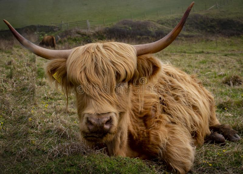 Highland cows on the South West Coast Path at Salcombe Devon stock images