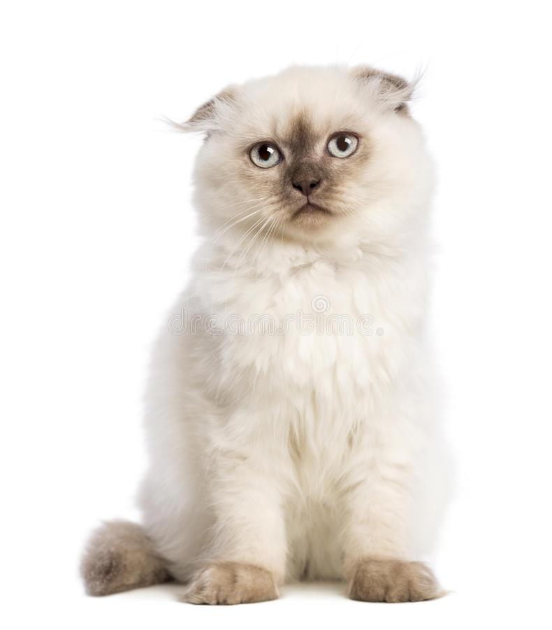 Highland Fold Kitten Sitting Royalty Free Stock Photos