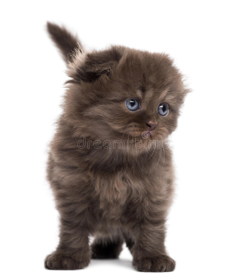 Highland Fold Kitten Standing, Facing, Isolated Royalty Free Stock Image