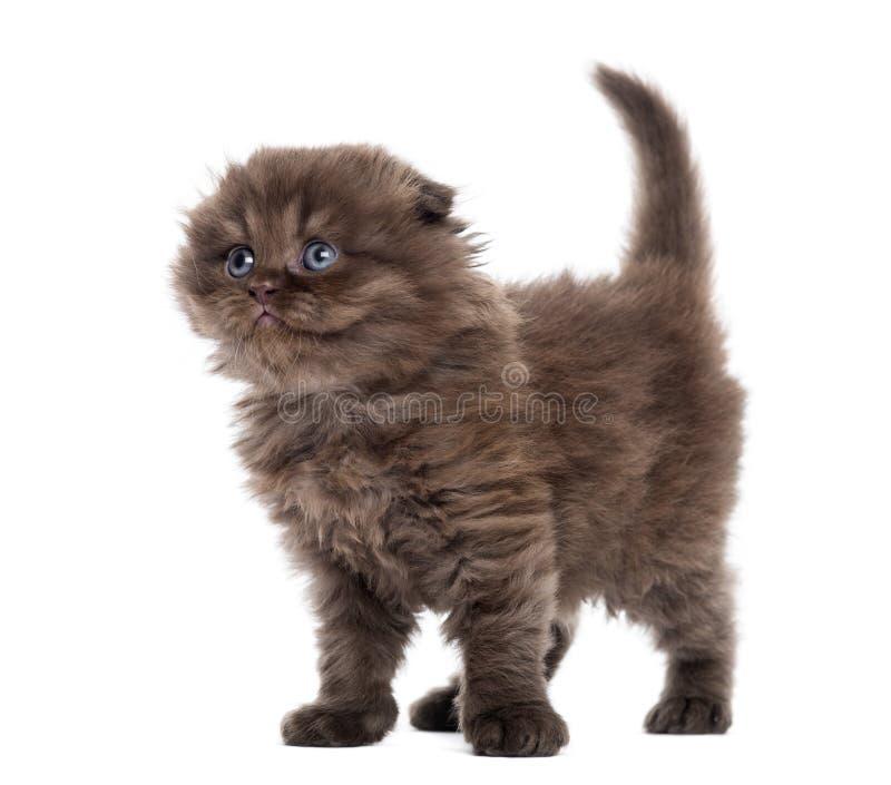 Highland fold kitten standing, looking upwards, isolated stock image