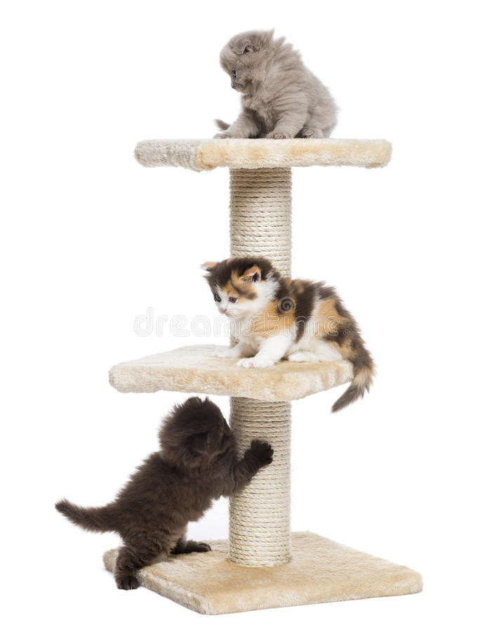 Highland fold or straight kittens playing on a cat tree. Isolated on white stock photo